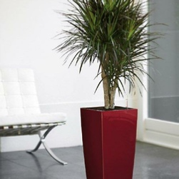office-plants-buds-dracaena-lechuza-hire